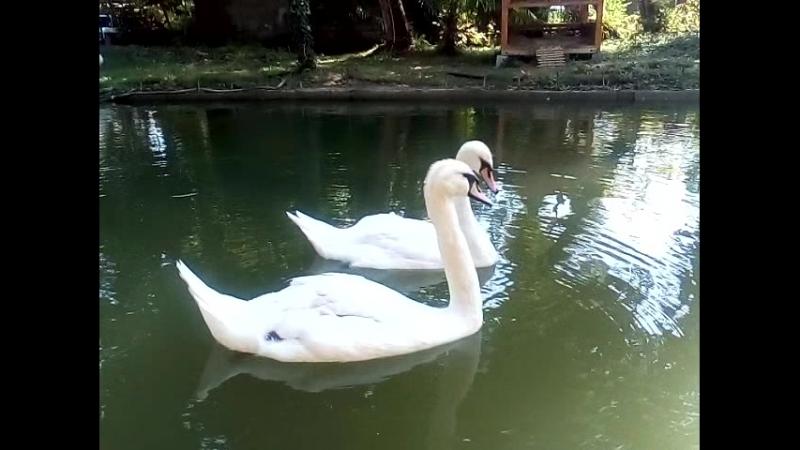 Прекрасные лебеди. Новый Афон. Абхазия.