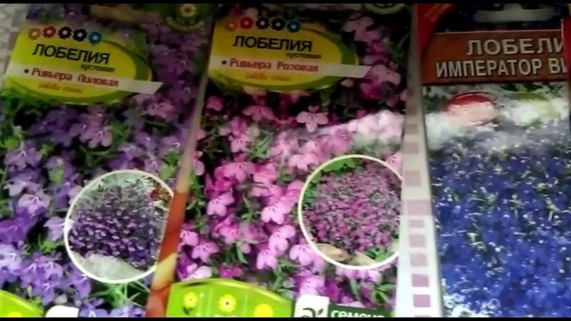 Лобелия шикарный цветок на вашей клумбе Как вырастить рассаду
