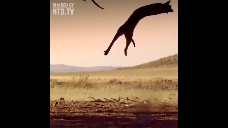 Caracal catching bird in mid-air!