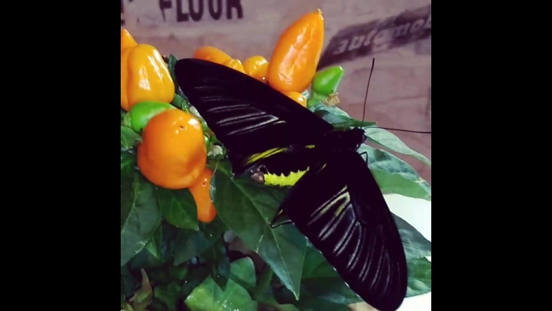 живая 🦋 бабочка