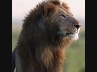 Если ты даже лев, тебе нужен БРАТ