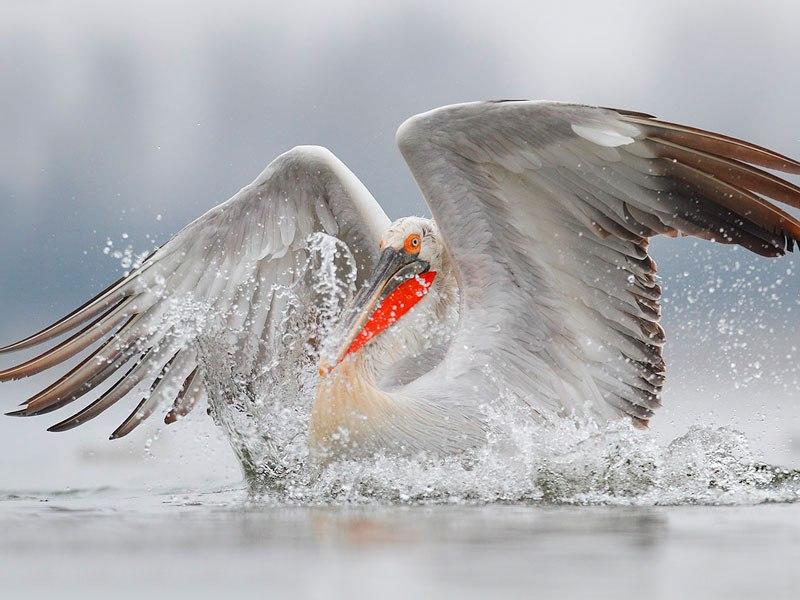 В Ростовской области поселился кудрявый пеликан – редкая птица из Красной книги России