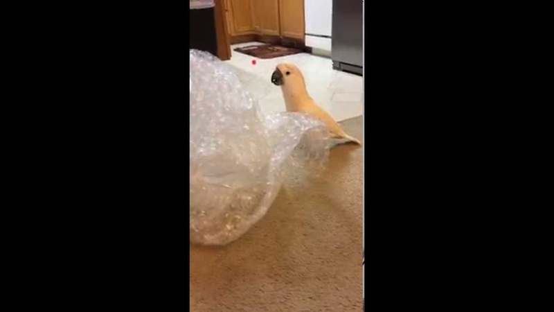 Gotcha the Cockatoo having some fun with bubble wrap! Lol