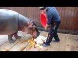 Кормление нашего питомца, бегемота Фриды. Сочинский Аквариум и Морской Зоопарк