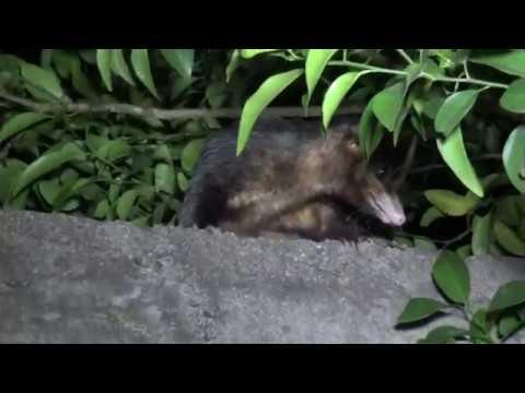 Caçada ecológica a um gambá à noite Não matamos o bichinho Full HD