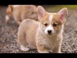 Самая забавная порода собак и ее щенки Вельш-корги