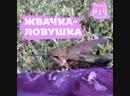 Колибри застрял в жвачке