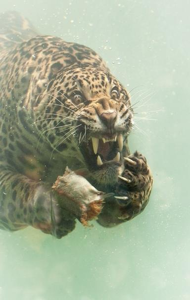 Эти удивительные кадры были сделаны 43-летним фотографом из Алмере, Нидерланды, Гербертом ван дер Биком (Herbert van der Beek). Он запечатлел, как ягуар нырнул за рыбой, которая была брошена в