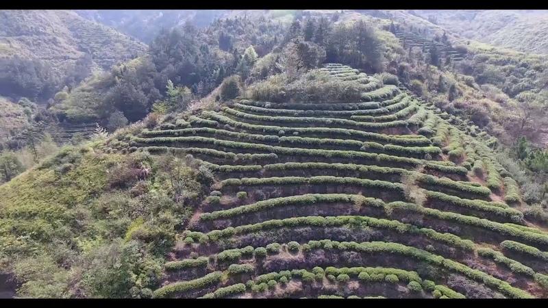 Чайные плантации в деревне Даган