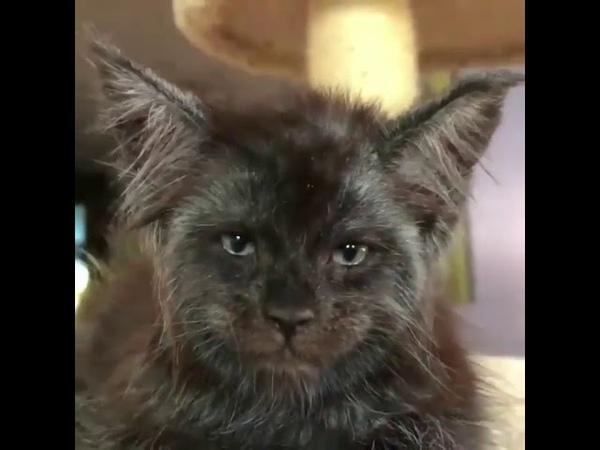 Кот с человеческим лицом
