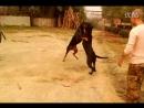 Доберман vs бандог