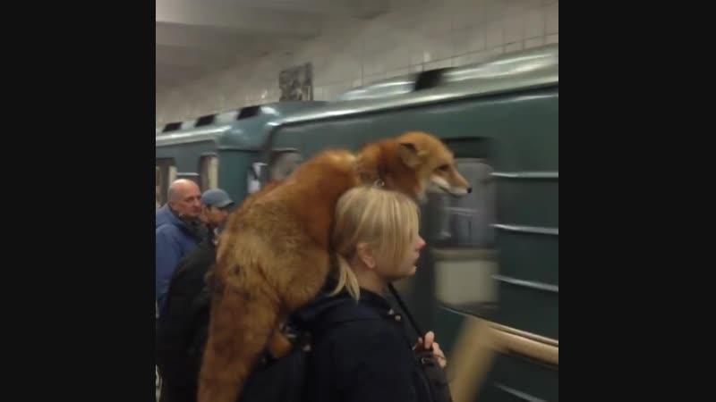 C'est ce qui s'appelle porter un renard !