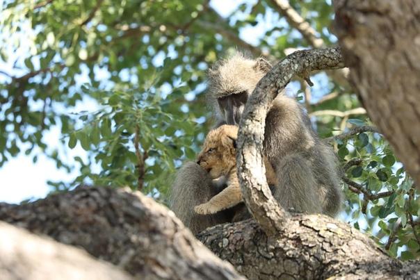 Африканский фотограф снял, как бабуин бережно несет львенка. И это точь-в-точь знаменитая сцена из «Короля Льва»!