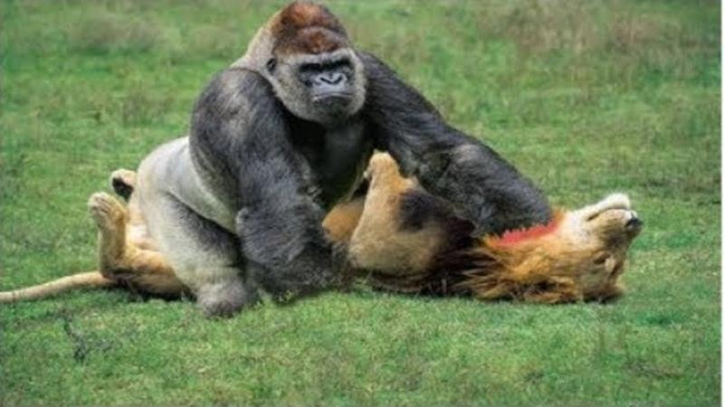 Khỉ đầu chó và những trận đại chiến đáng xem trong thế giới động vật - 01