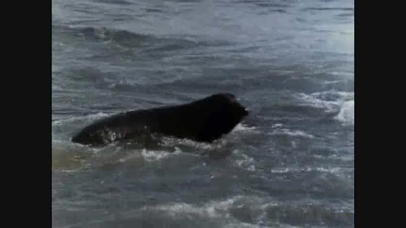 10.1970 Возвращение морских слонов