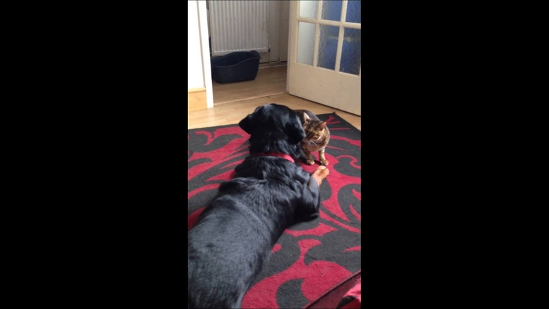 So there dog! Bengal cat shows Rottweiler whos boss!