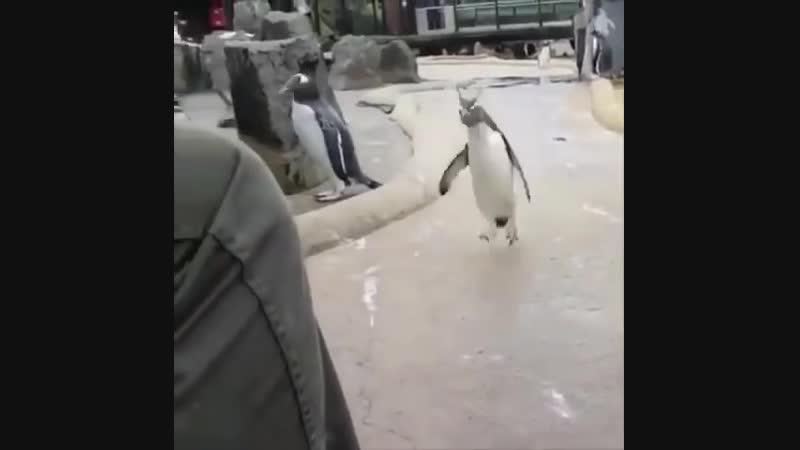 Веселый пингвин в зоопарке Эдинбурга - Сегодня будет туса [SD, 854x480]