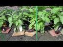 Советы опытных огородников по выращиванию баклажанов и перцев