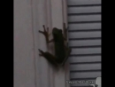 Лягушка которая проглотила светлячка теперь сама мишень для хищников😳