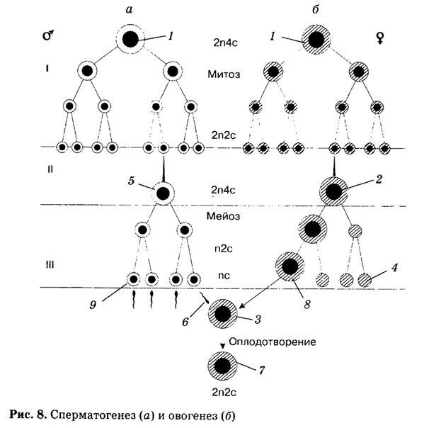 spermatogenez-ego-stadii