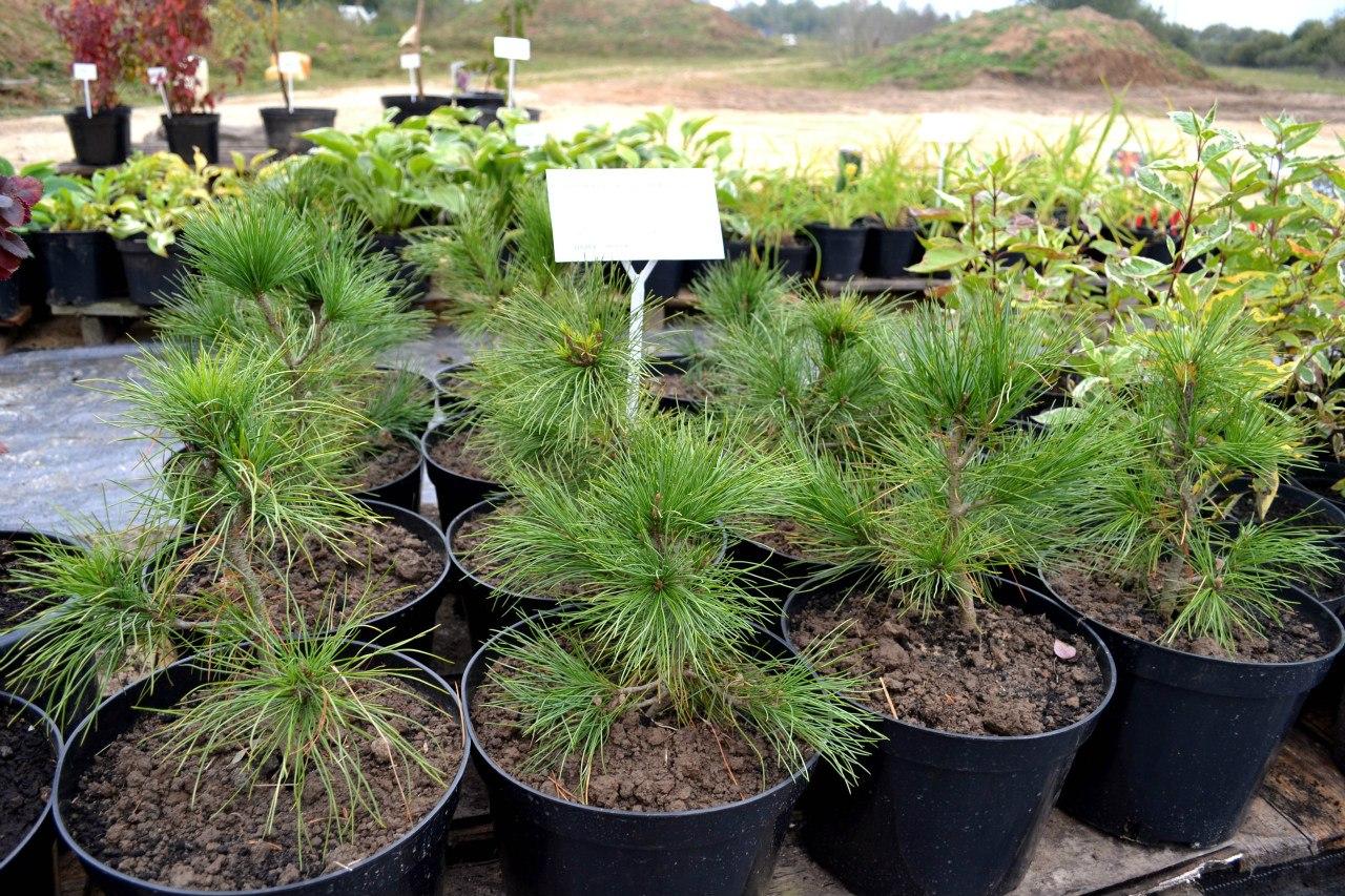 продажа деревьев и кустарников