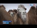 Откуда взялись верблюды в алтайских степях Barnaul22