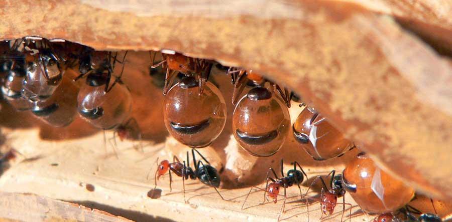 Кто еще производит секреторный мед, кроме тли Обзор