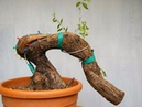 ✅ Bonsai: Advanced technique. Graft of vein alive performed on Olea europaea by Stefano Defraia