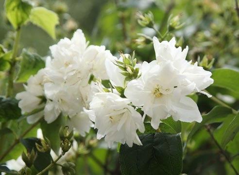 Чубушник, садовый (жасмин) Жасмин - листопадный кустарник семейства гортензиевых. Насчитывается около 40 видов. В приусадебном озеленении распространены: чубушник Гордона ( самое высокорослое