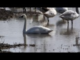 White Wing The Tundra Swan Migration