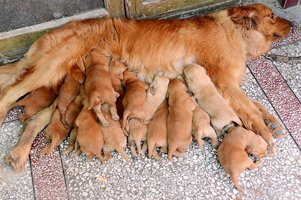 Все 15 щенят золотистого ретривера действительно родила одна мама.