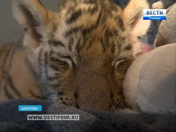 В Шкотово дома у ветеринара подрастает маленький Шерхан — детеныш тигров Амура и Уссури
