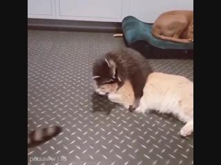 Это я, когда прихожу в гости к людям, у которых есть кот
