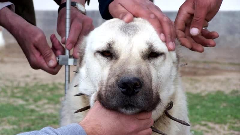 Собачий бой какая собака круче Кангал или Бурбуль