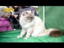 Международная выставка кошек, Харьков, 5 марта 2017, все кошки, часть 2