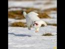 горностай разъебывает кота