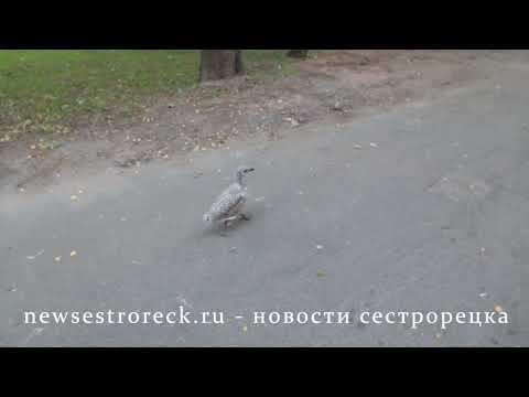 По улицам Сестрорецка бегает баклан