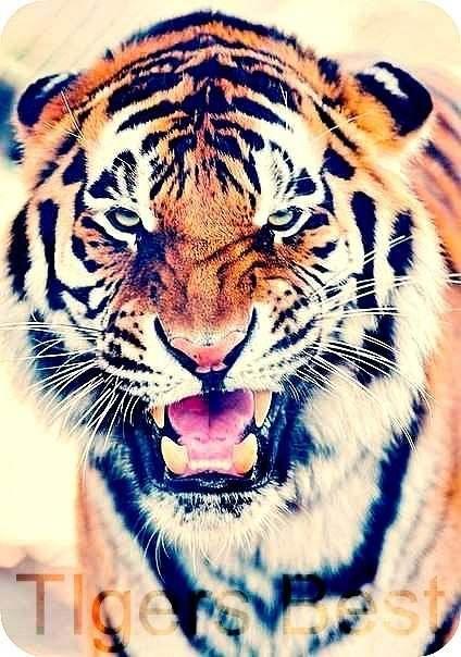 тигр на аву: