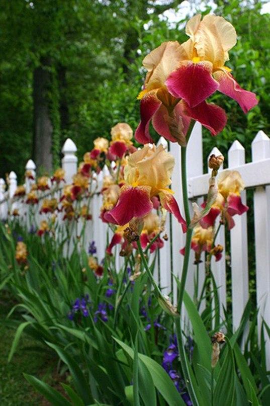 Ирисы — уход весной.