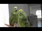 Два пьяных попугая поют, я со смеху упал!!!