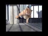 Толстый котик.  Котяра. Смешной кот. Лучшие приколы. Лучшее видео