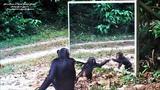 Baby chimp learn of mirror progress - Au Gabon, un b