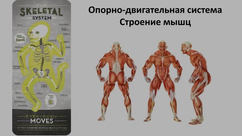 9. Опорно двигательная система - мышцы (8 класс) - биология, подготовка к ЕГЭ и ОГЭ