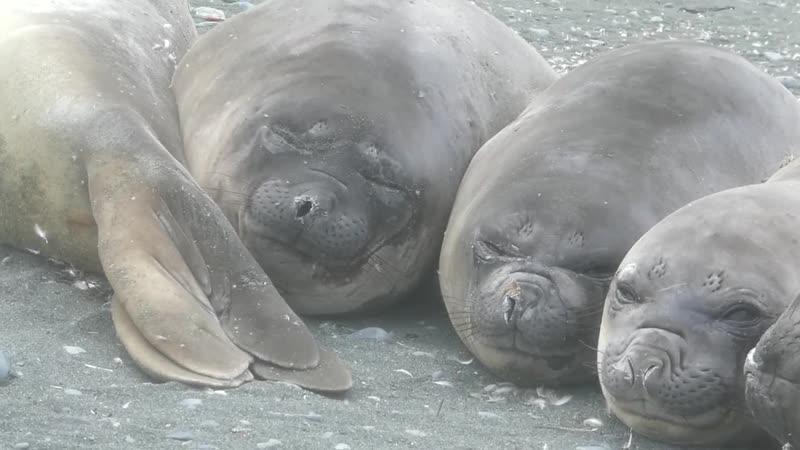 Маленькие тюленьи слоники