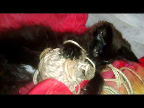 Лучшая игрушка для котят или Роскошная кошечка Мейн кун в пикантных стрингах