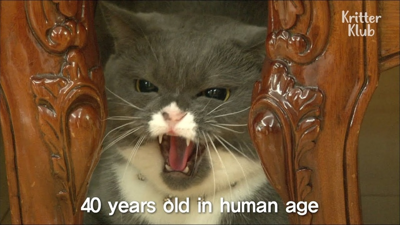 Angry Female Cat Rejects All Male Cats Kritter Klub
