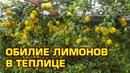 ОБИЛИЕ И ВЫРАЩИВАНИЕ ЛИМОНОВ В ТЕПЛИЦЕ 16 10 2018