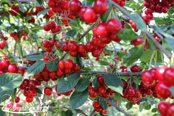 Как ухаживать за вишней и добиться высокой урожайности: