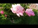 Лютики цветочки у меня в садочке