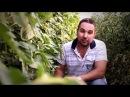 Секреты выращивания большого урожая томатов